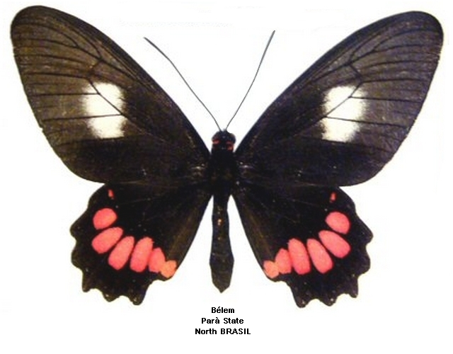 femelle recto (source : http://swallowtails.net)