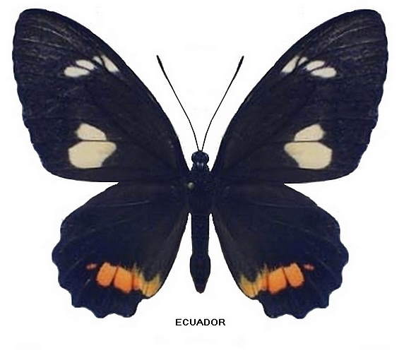 femelle recto-transition unimaculata (Source : http://homepage1.nifty.com/parides)