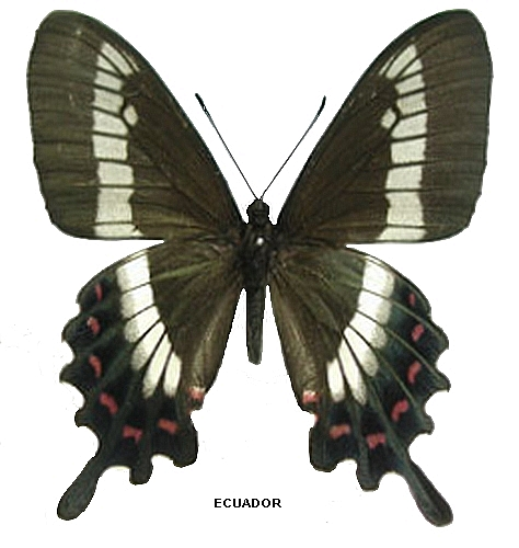 femelle recto (Source : http://homepage1.nifty.com/parides)